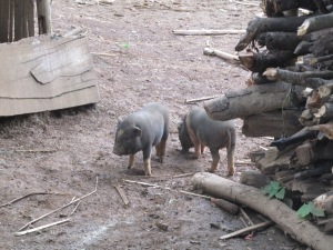 Any excuse to get a photo of piglets into the blog