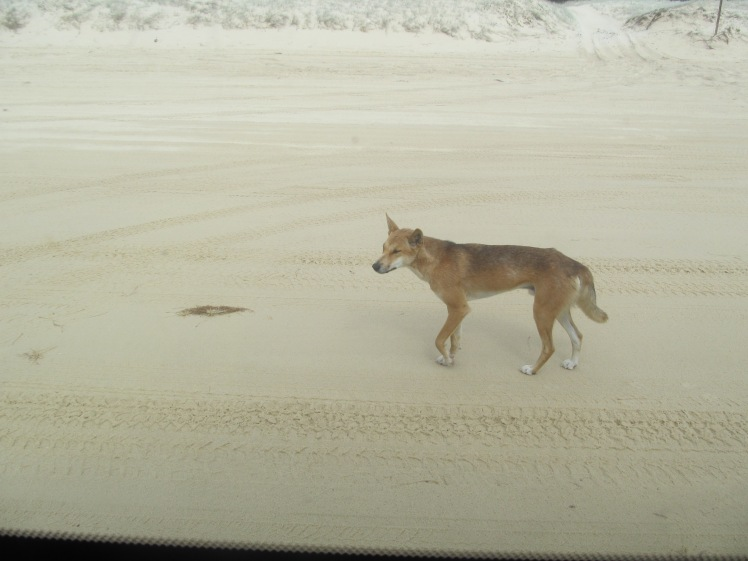 Dingo on the beach, Fraser Island.
