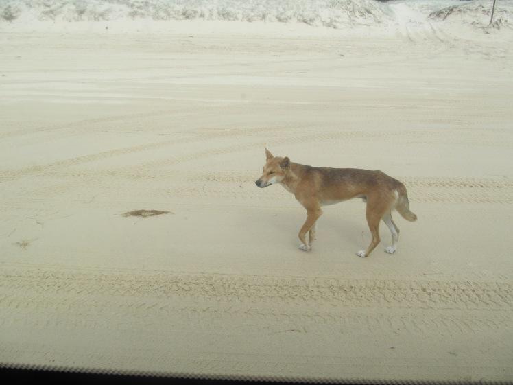 Dingo on the beach, Fraser Island.