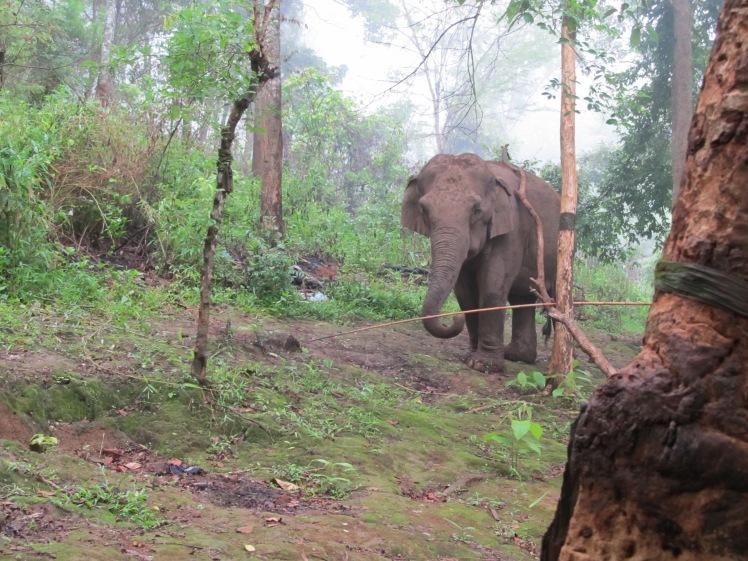 Asian elephant, northern Thailand