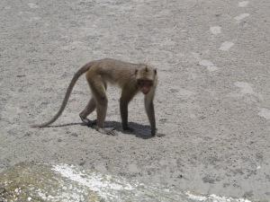 Beach monkey, Hua Hin