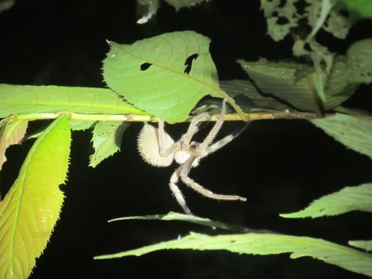 Nocturnal spider