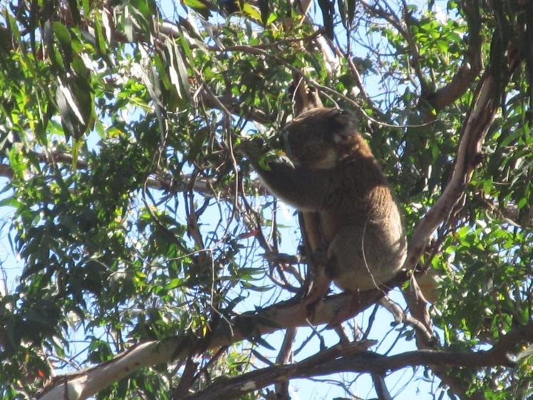 Wild koala, Cape Otway National Park