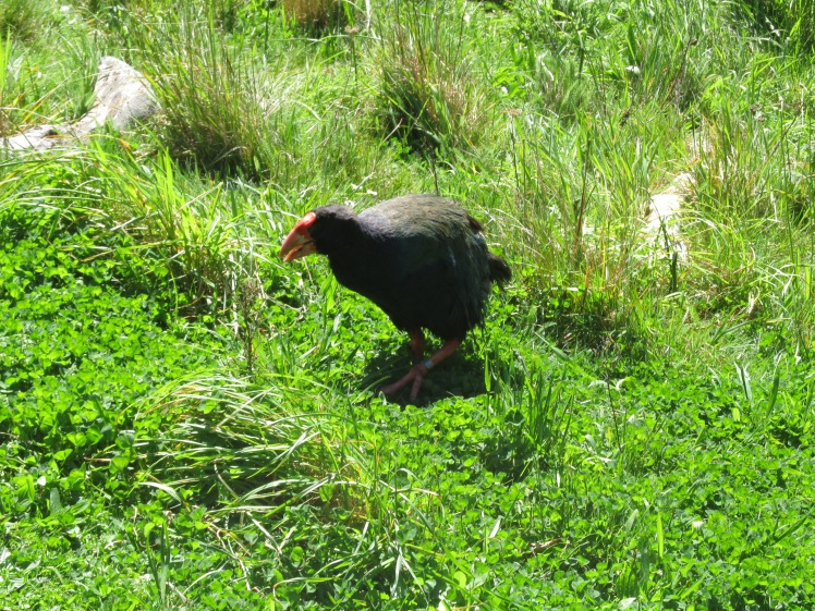 The no-longer-exctinct takahe.