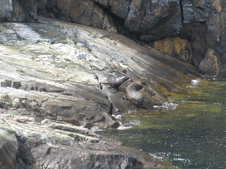 New Zealand Fur Seals, Milford Sound.
