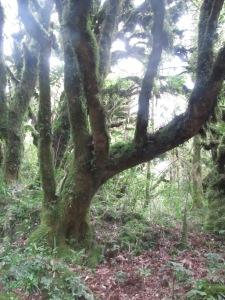 Lichen-covered tree.