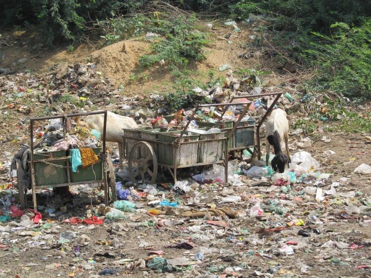 Cows forage in the rubbish.