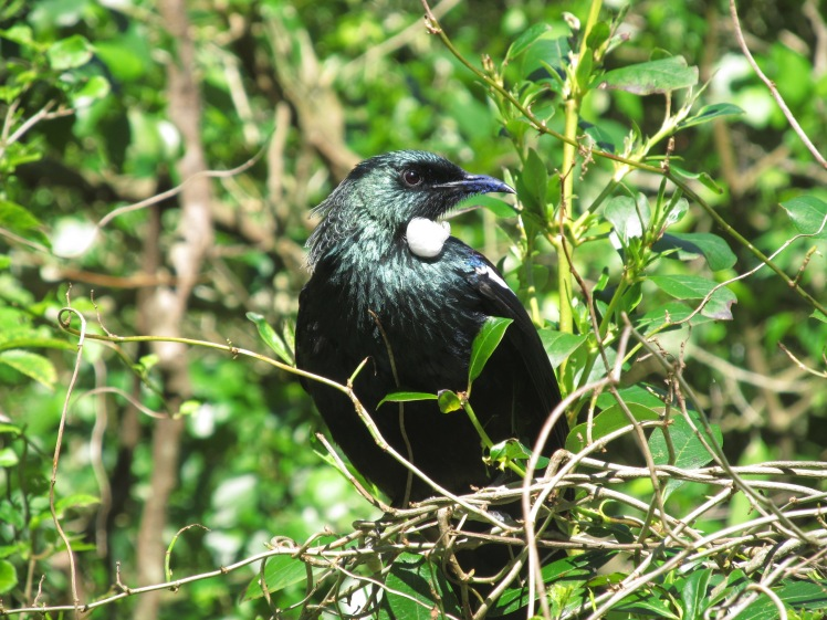 Flying like a Tui, new favourite native bird in New Zealand.
